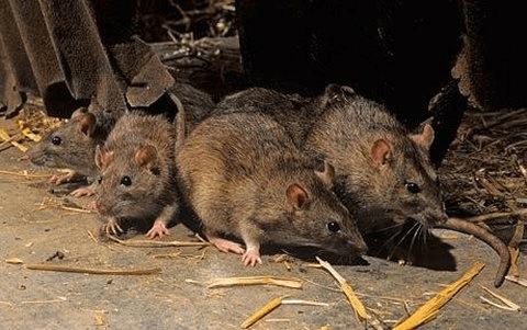 Deratyzacja- sposób pozbycia się szczura wędrownego